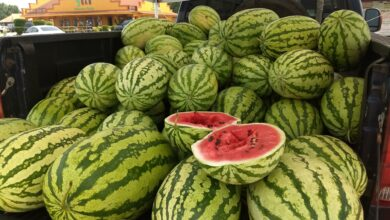 Photo of It's A Watermelon Life Part 1: Bodcaw Watermelons By David McNiel